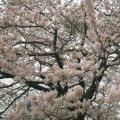 桜前線、ゆるやかに上昇中!