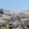 桜は満開、春本番